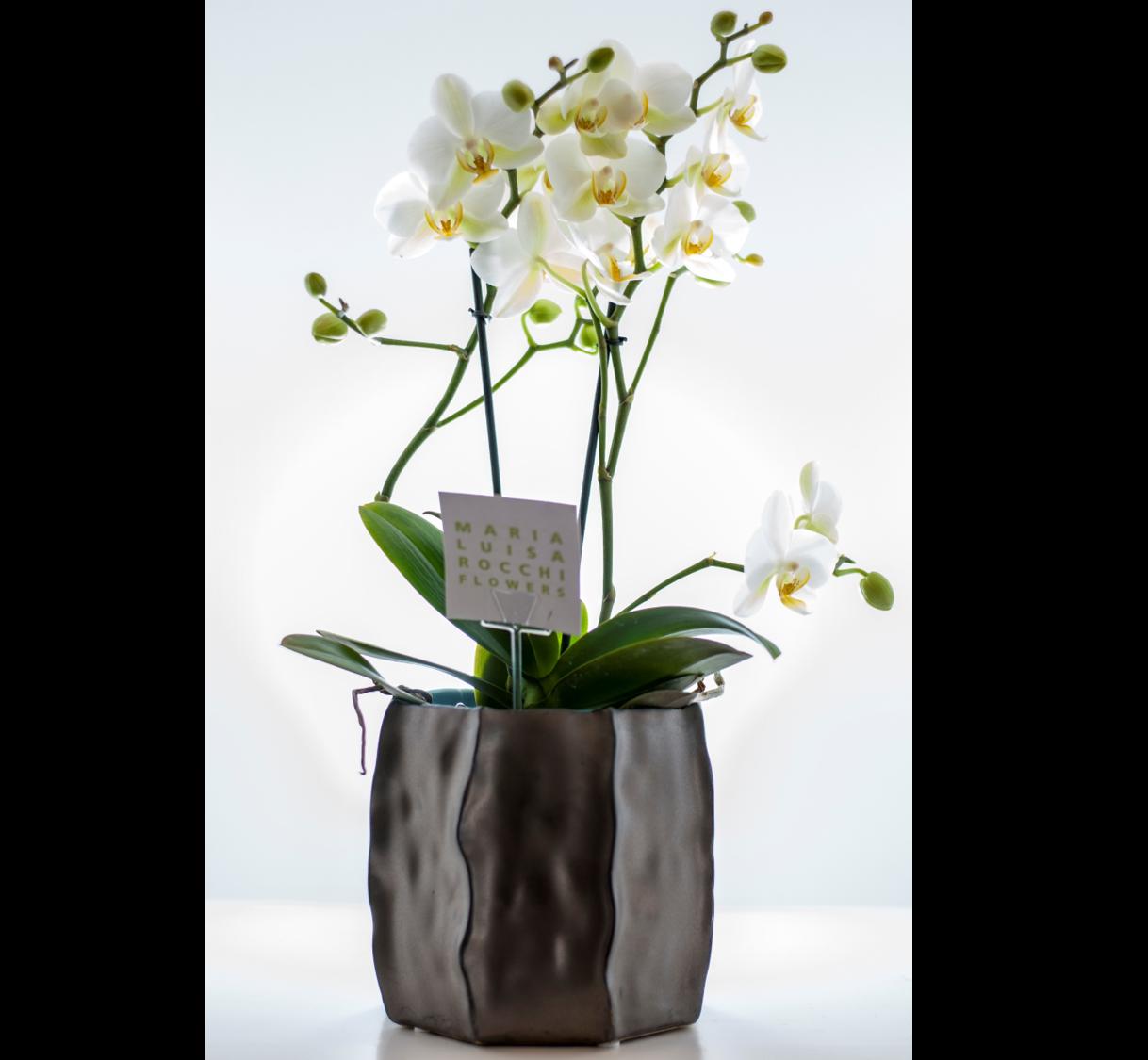 Vaso con orchidea multiflora for Vaso orchidea